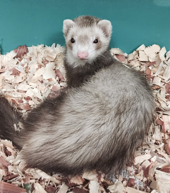 Image of Spice the Ferret