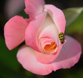 A Rose for a Lady (bug)