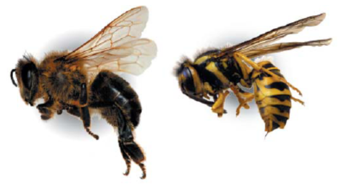 A honey bee (left) is distinguished from a yellowjacket wasp by its hairy body and wide rear legs designed for carrying pollen. Photo courtesy Michael Merchant