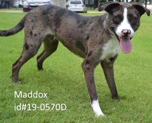 Maddox-Pet-of-the-Week